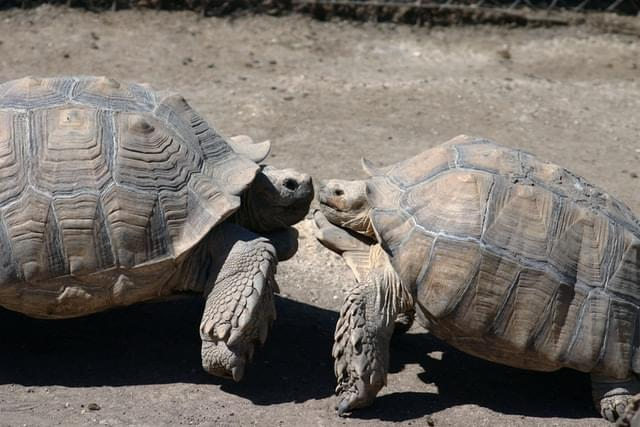 two gray-and-brown turtles photo